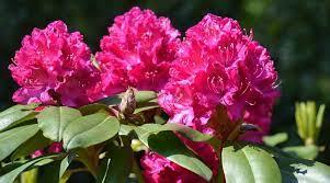 Rododendron, różanecznik, azalia... Wiosenne krzewy ozdobne. Kiedy  rododendron kwitnie?
