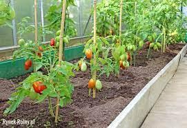 Uprawa pomidorów w szklarni - zdjęcie 4 - Jak uprawiać pomidory pod  osłonami? Dzielimy się wskazówkami - Rynek Rolny