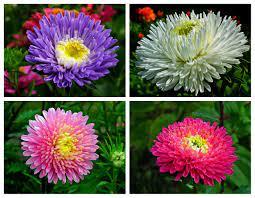 Astry - jesienne kwiaty - Inspiracje od Green Design Blog