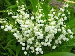 Konwalia majowa Convallaria majalis - 30 nasion | Future Gardens