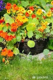 Fototapeta Blooming nasturcja w ogrodzie • Pixers® - Żyjemy by zmieniać