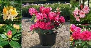 Rododendron - różanecznik, który jest ozdobą ogrodów – uprawa, pielęgnacja,  przycinanie. - Claudia.pl
