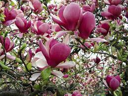Magnolia drzewo: odmiany. Magnolie do ogrodu i na balkon - e-ogrody -  Ogrody przydomowe