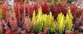 Berberysy – idealne rośliny dla początkujących ogrodników.