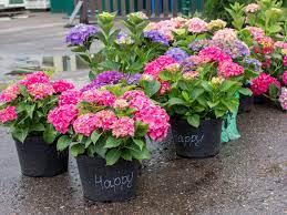 Błędy w sadzeniu hortensji. Zobacz, jak sadzić hortensje ogrodowe?! Krok po  kroku | Zielony Ogródek