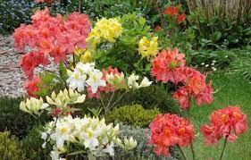 Azalie wielkokwiatowe uprawa, pielęgnacja, wybór odmian.