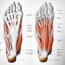 FizjoTerapia HD - ⁉️Pamiętacie jak mówiliśmy Wam, że ból stopy w okolicy  pięty to nie tylko rozcięgno podeszwowe ???( widoczne na zdjeciu po lewej  stronie) To zobaczcie co kryje stopa - strona